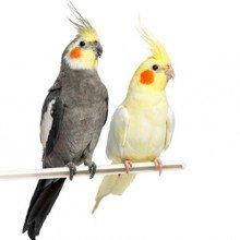 خوراک پرندگان زینتی